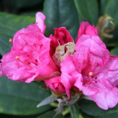 Rhododendron 'Aloha'-4-