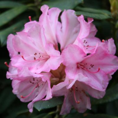 Rhododendron 'Aloha'-5-