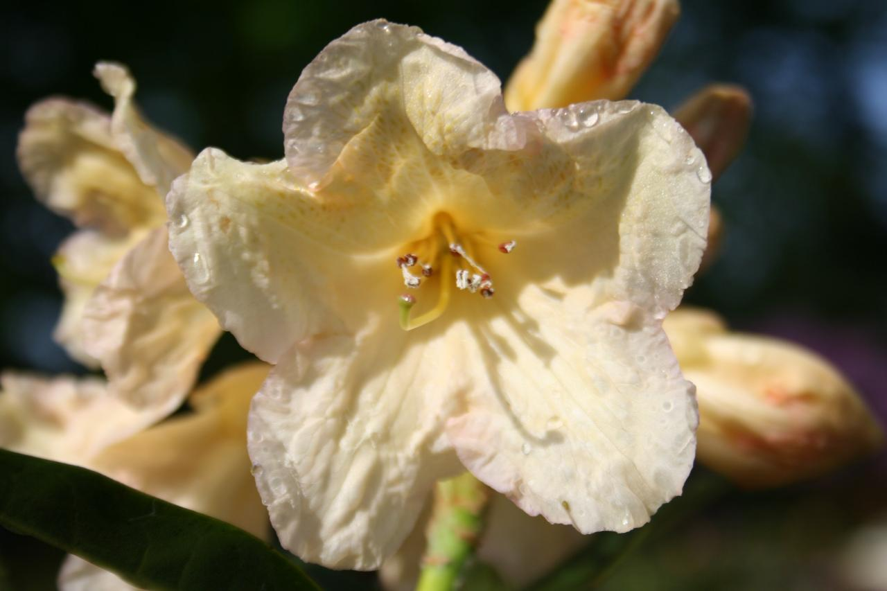 Rhododendron 'Champagne'-2-