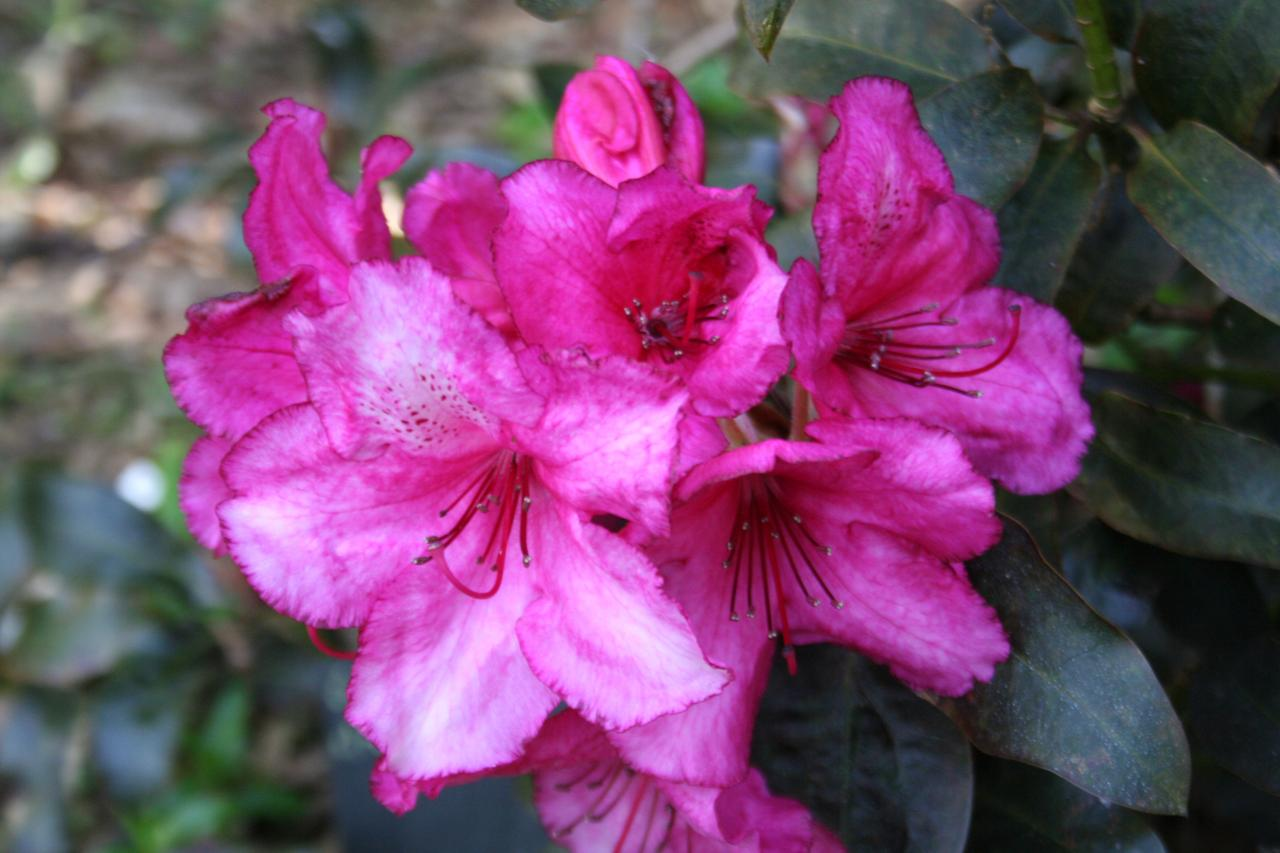 Rhododendron 'Ebony Pearl'-6-