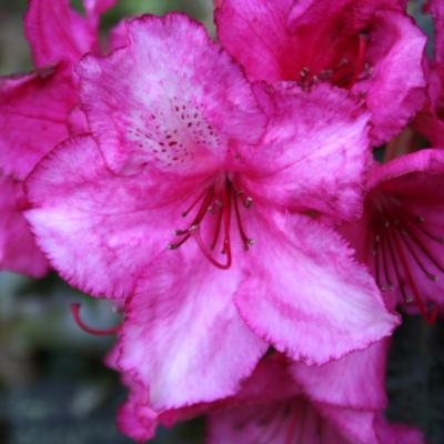 Rhododendron 'Ebony Pearl'-7-