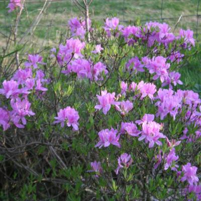 Rhododendron forestii-4-