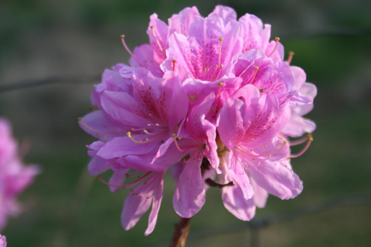 Rhododendron forestii-5-
