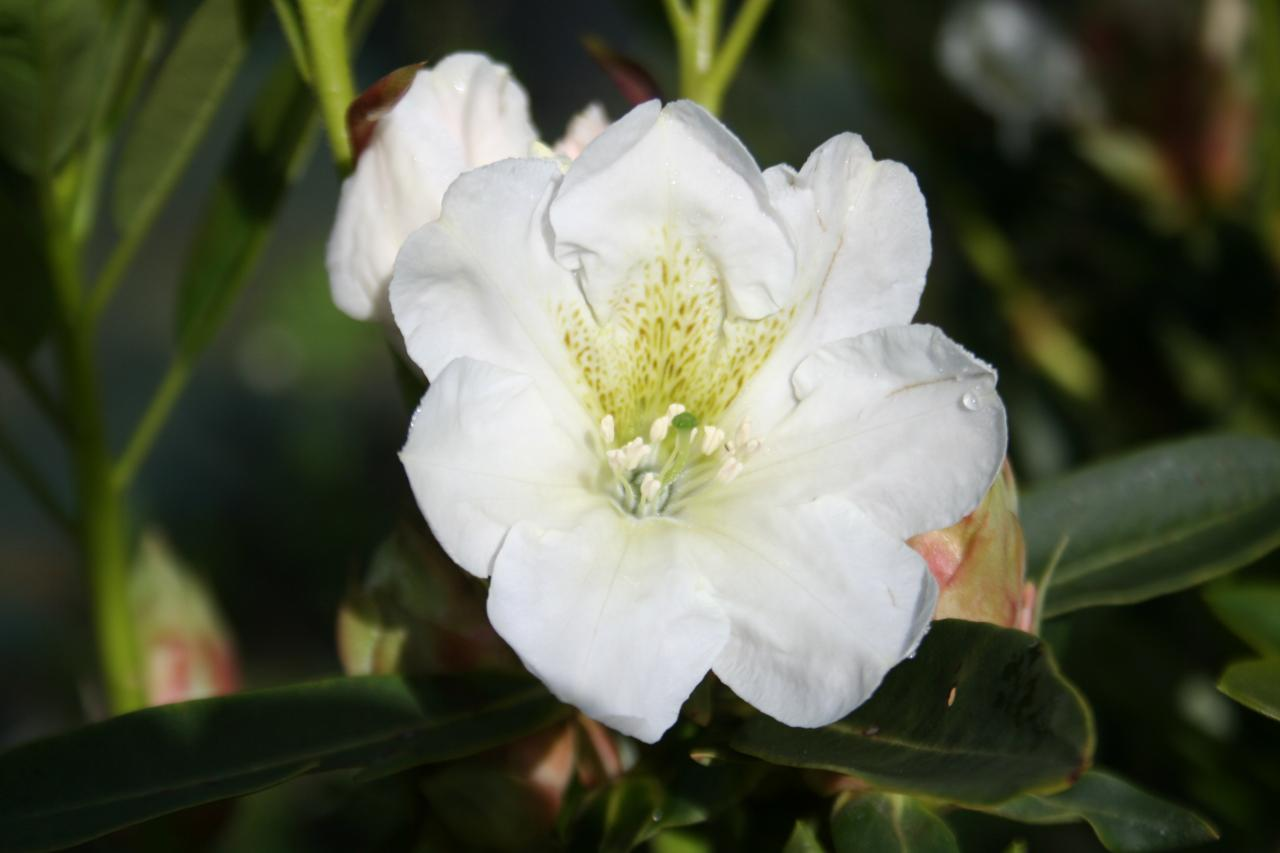Rhododendron fortunei ssp. discolor-2-