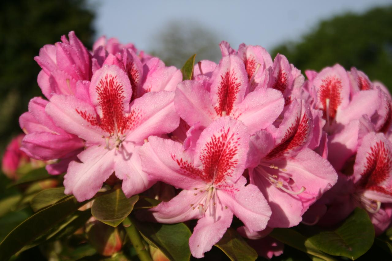 Rhododendron 'Furnivall's Daughter'-7-