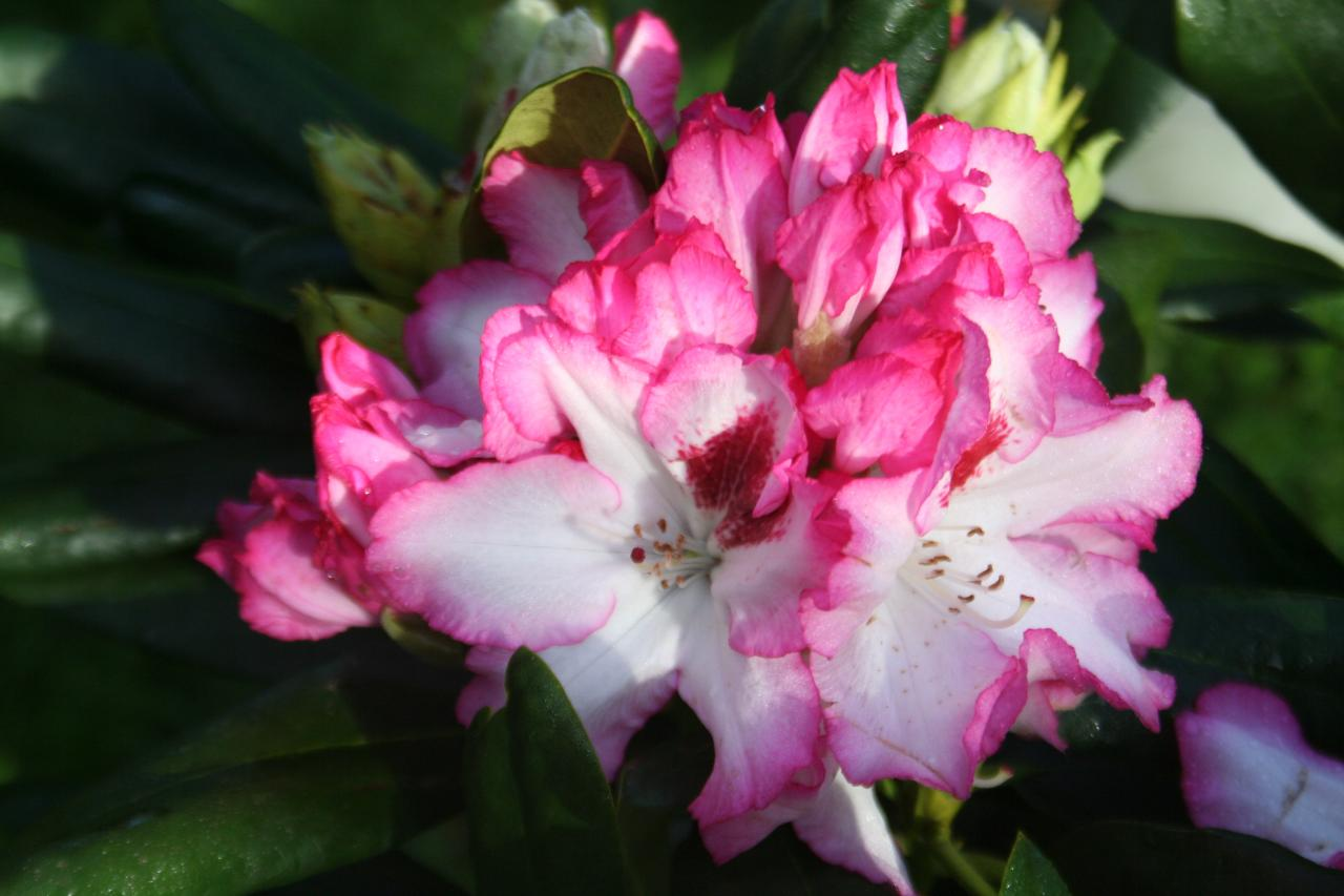 Rhododendron 'Hachmann's Charmant'-3-