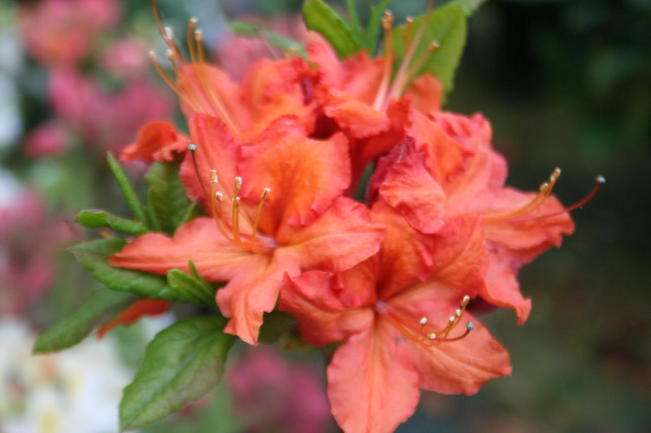 Rhododendron 'Hotspur Red'