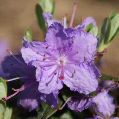 Rhododendron impeditum-4-
