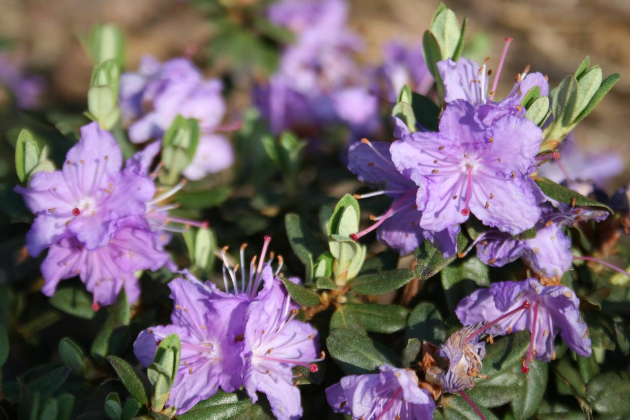 Rhododendron impeditum-5-