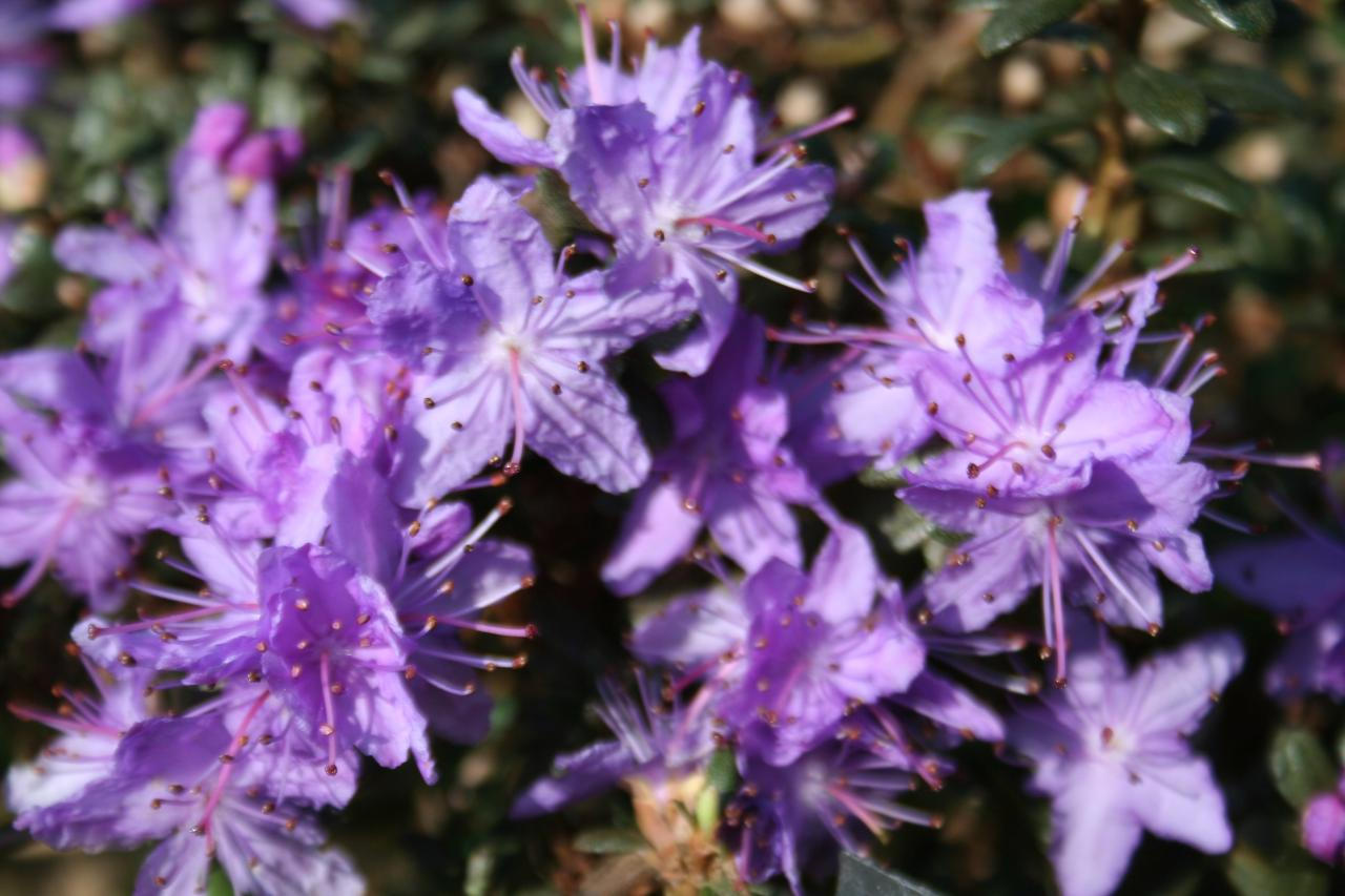 Rhododendron 'Intrifast Group'