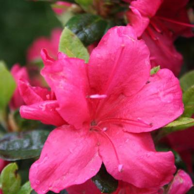 Rhododendron japonica 'Arabesk'-5-