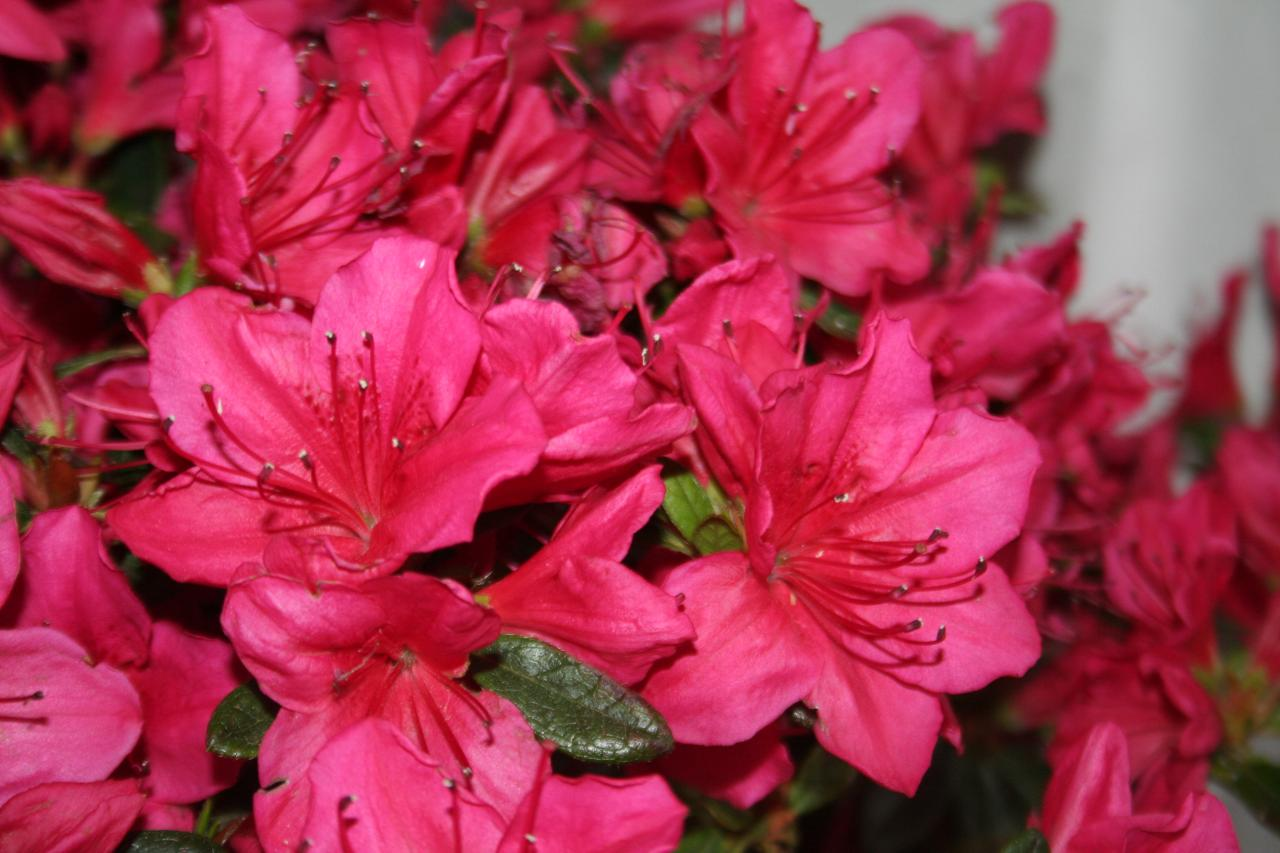 Rhododendron japonica 'Arabesk'