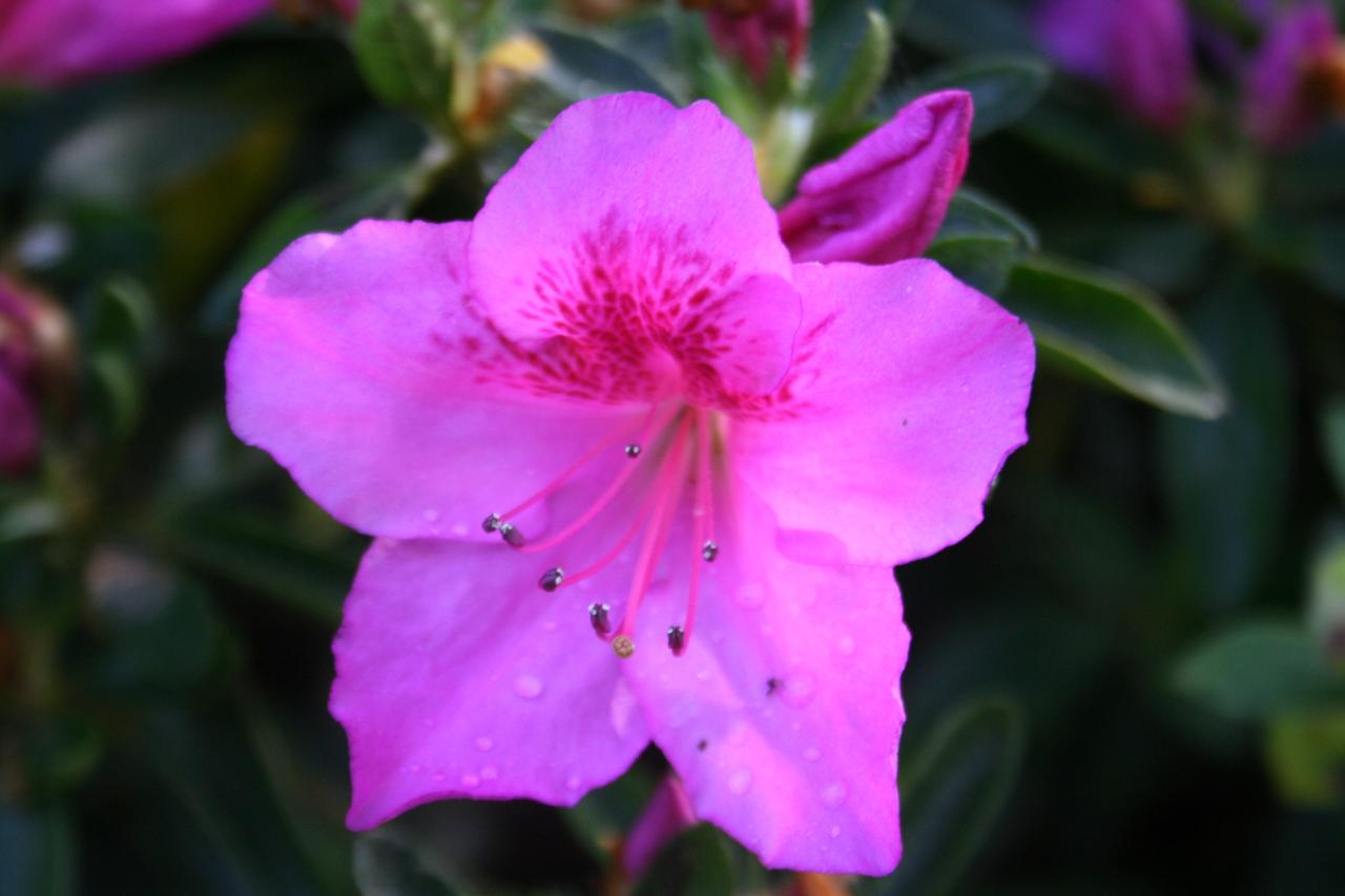 Rhododendron japonica 'Beethoven'-10-