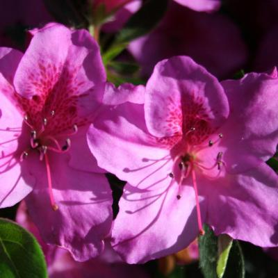 Rhododendron japonica 'Beethoven'-4-