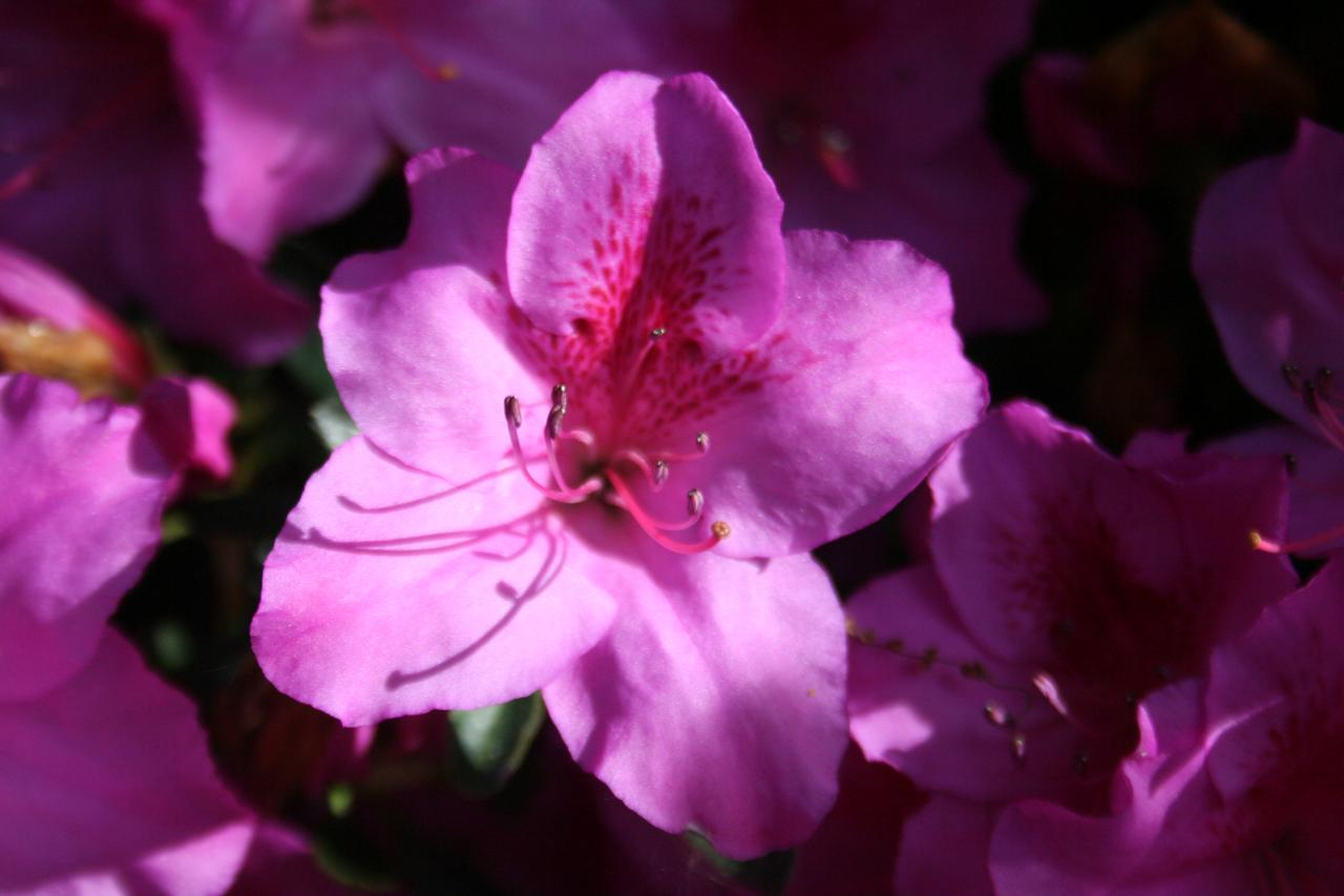 Rhododendron japonica 'Beethoven'-5-