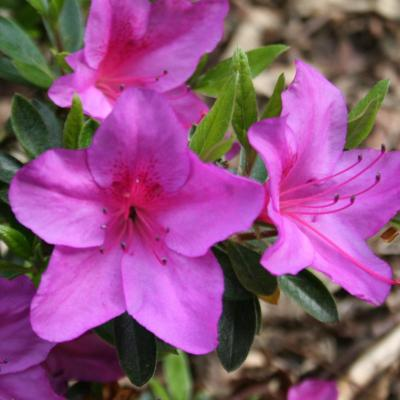 Rhododendron japonica 'Blue Danube'-4-