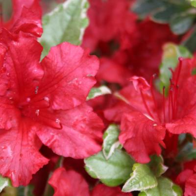 Rhododendron japonica 'Hot Shot Variegated'-5-