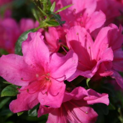 Rhododendron japonica 'Isabella'-2-