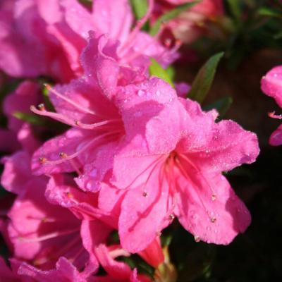 Rhododendron japonica 'Isabella'-5-