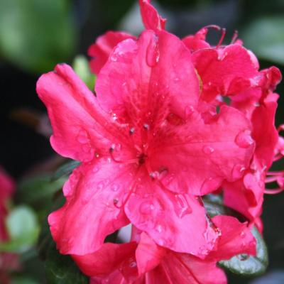 Rhododendron japonica 'Johanna'-4-