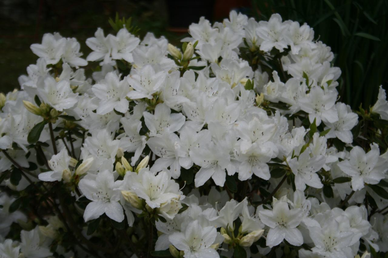 Rhododendron japonica 'Luzy'-5-