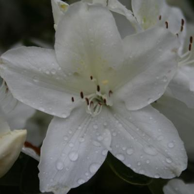 Rhododendron japonica 'Luzy'-6-