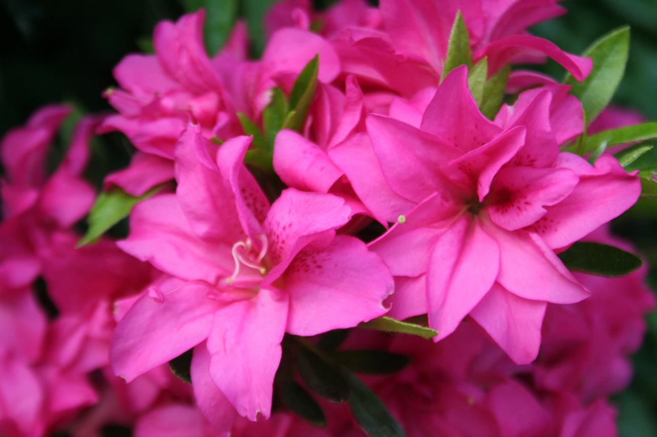 Rhododendron japonica 'Rose King'-3-