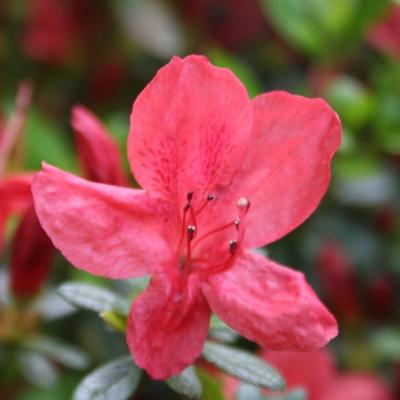 Rhododendron japonica 'Sakata Red'-5-