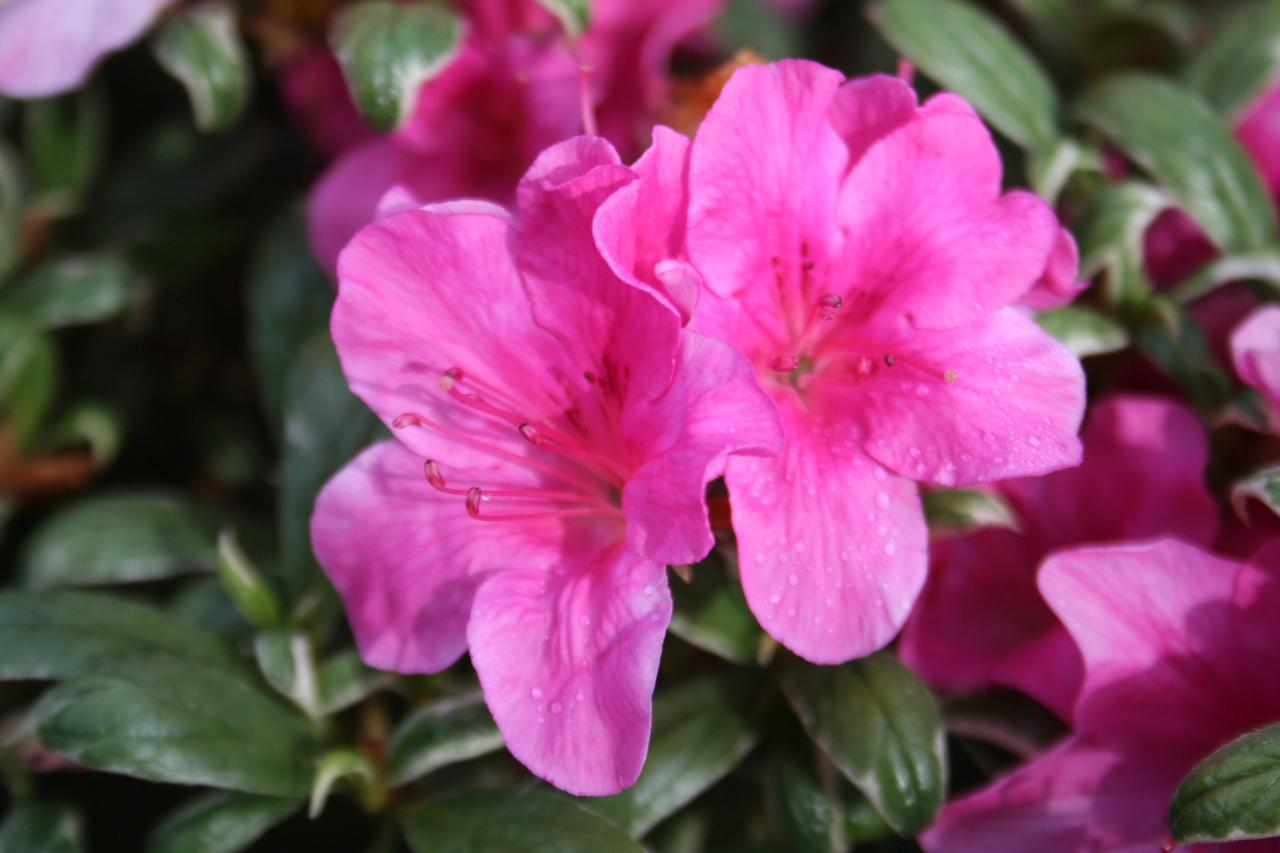Rhododendron japonica 'Salmon's Leap'