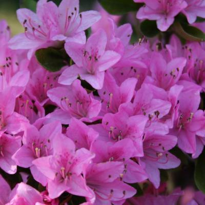 Rhododendron japonica 'Sweet Briar'-2-