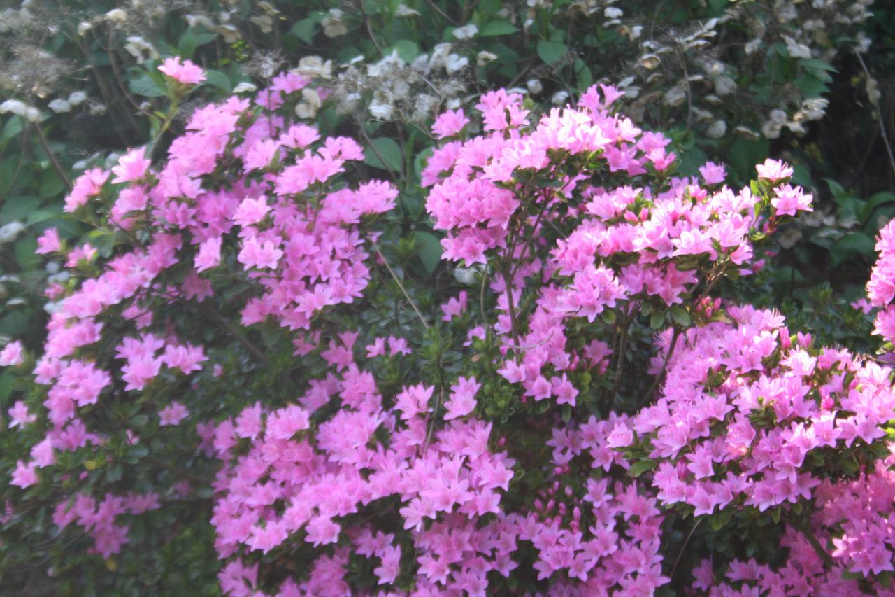 Rhododendron japonica 'Sweet Briar'