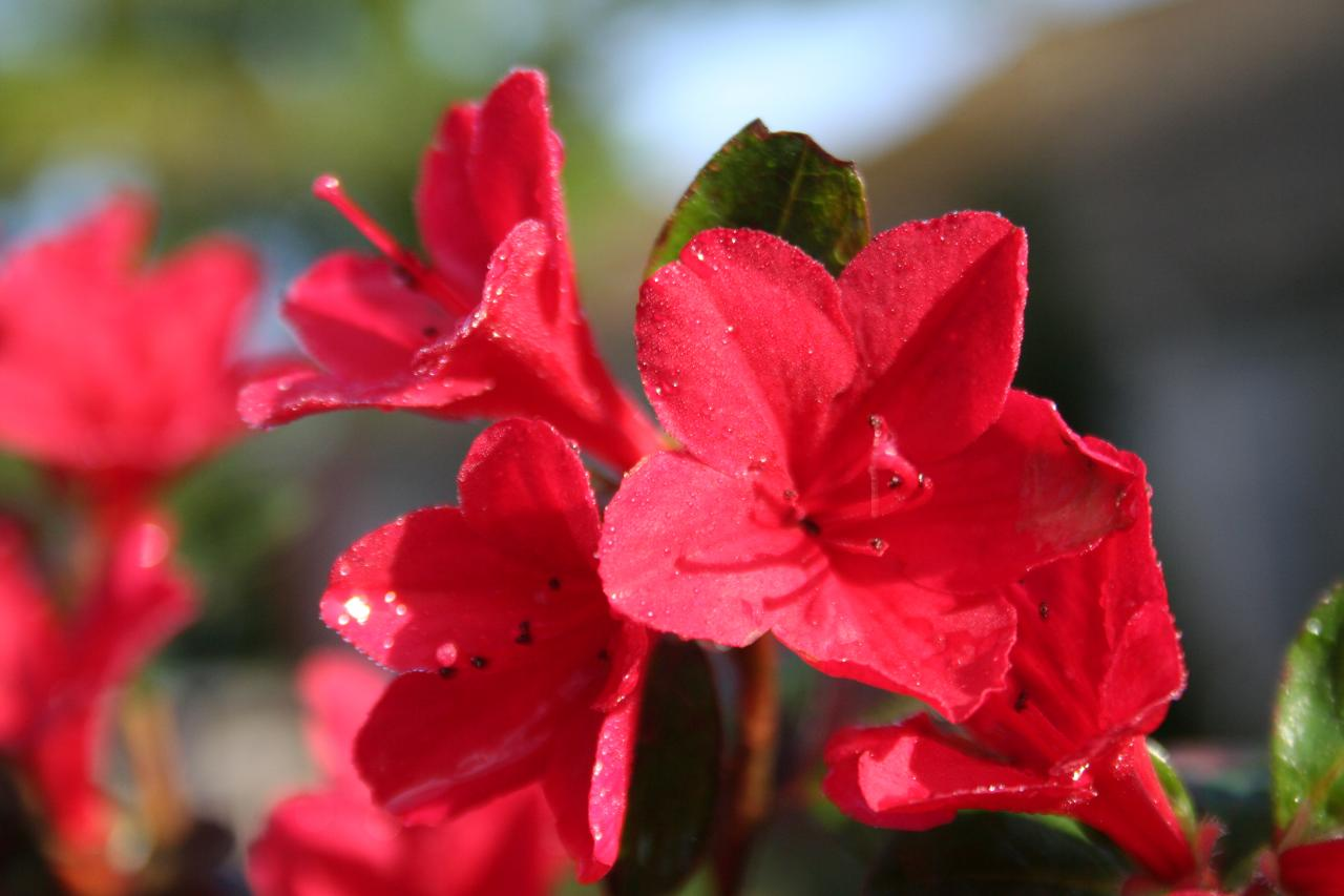 Rhododendron japonica 'Ward's Ruby'-5-