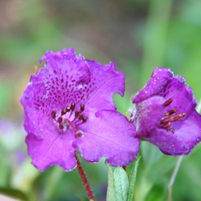 Rhododendron lepidotum clône 'Reuthe's Purple'-3-