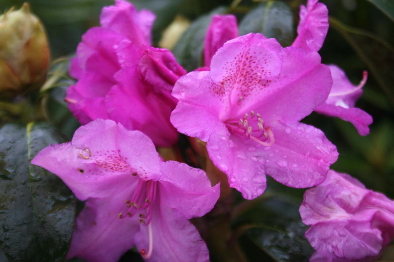 Rhododendron 'Lila'-10-