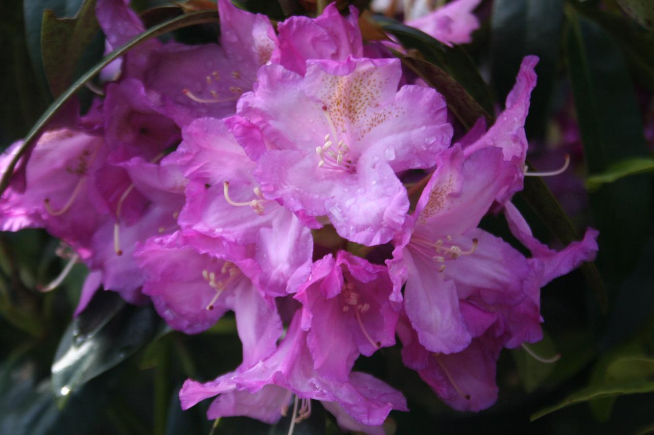 Rhododendron 'Lila'
