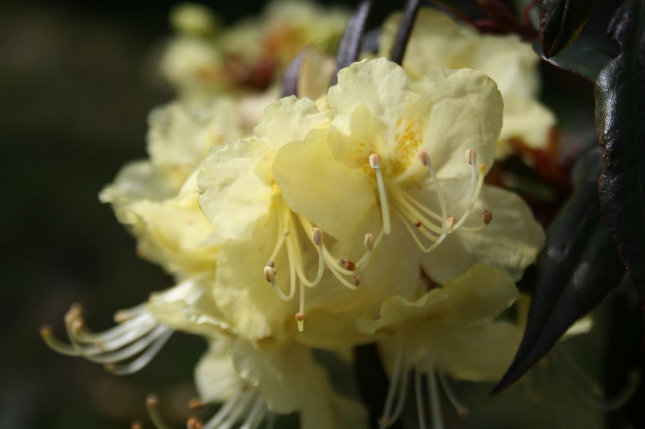 Rhododendron lutescens-2-
