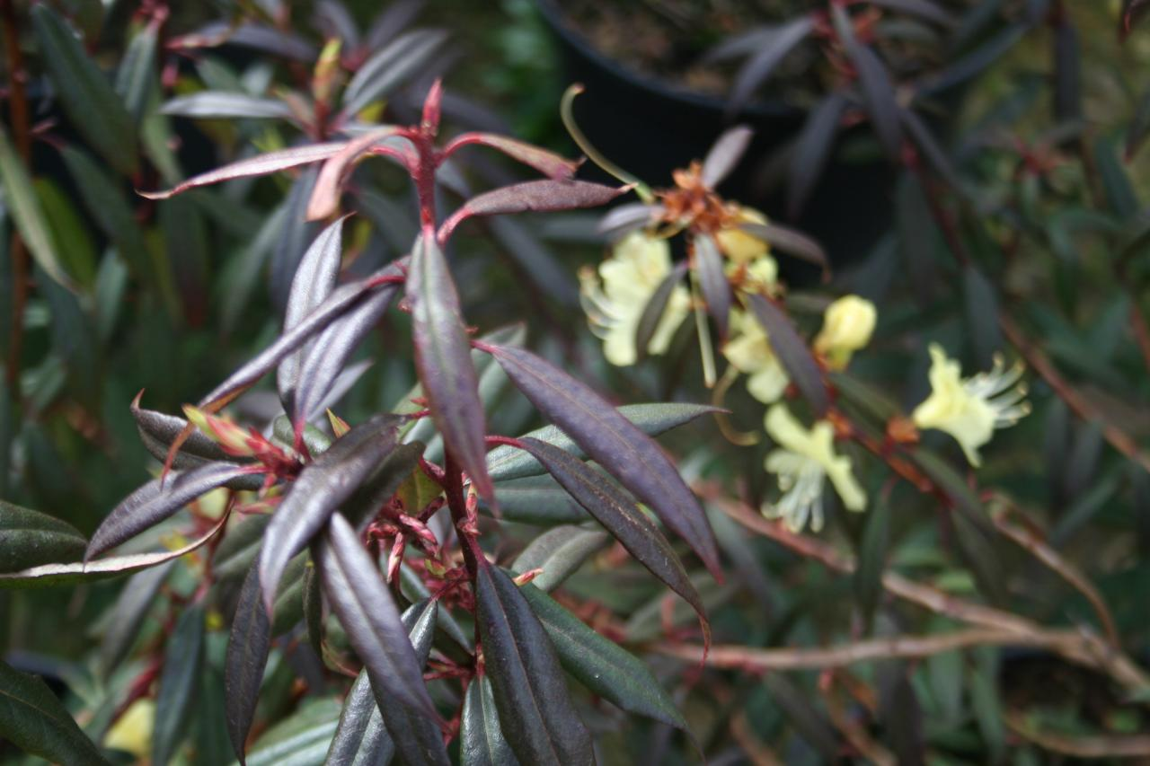 Rhododendron lutescens-3-