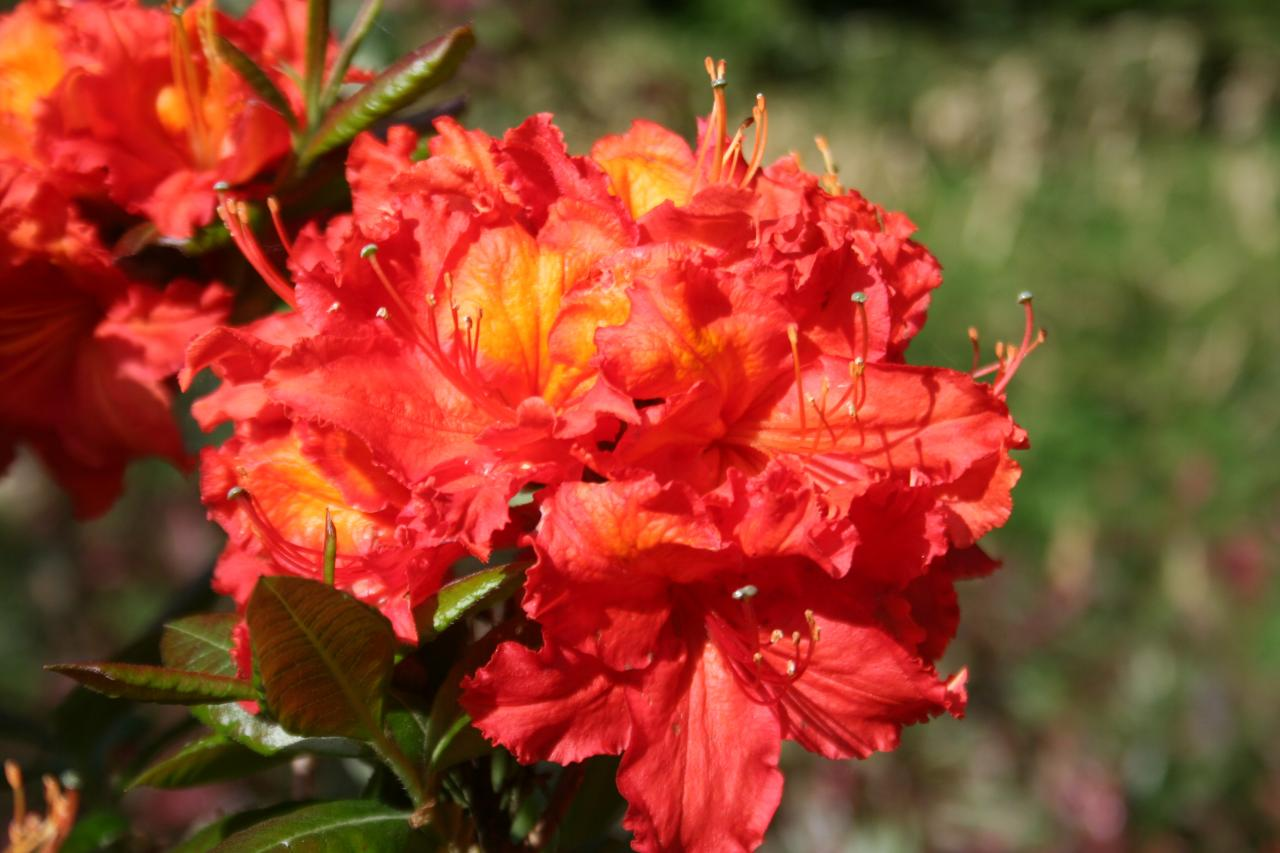 Rhododendron 'Mary Poppins'-9-