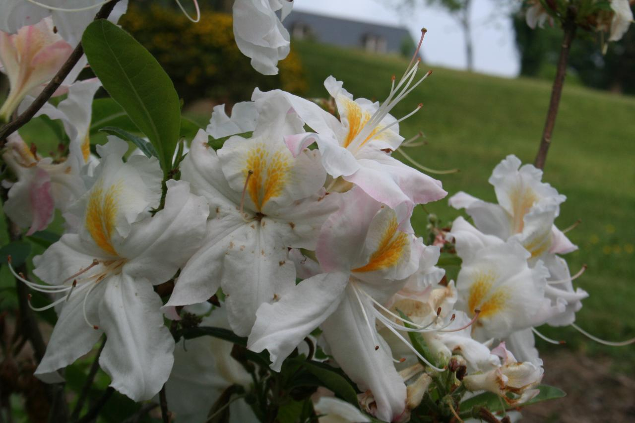 Rhododendron 'Persil'-4-