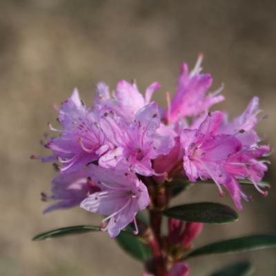 Rhododendron racemosum 3