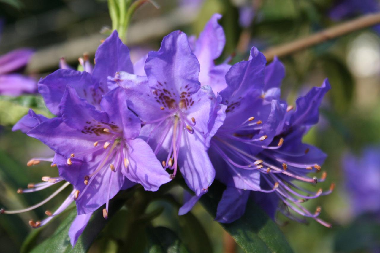 Rhododendron 'Russautinii Group'-4-