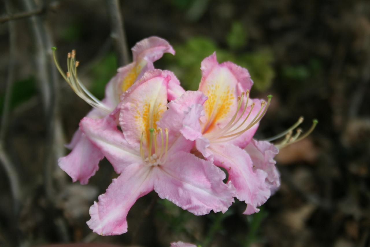Rhododendron 'Tri-Lights'-5-
