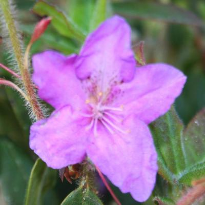Rhododendron tricanthum-2-