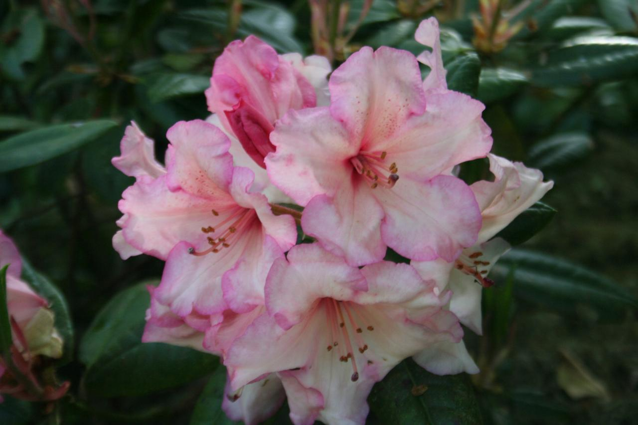 Rhododendron 'Virginia 'Richards'-2-