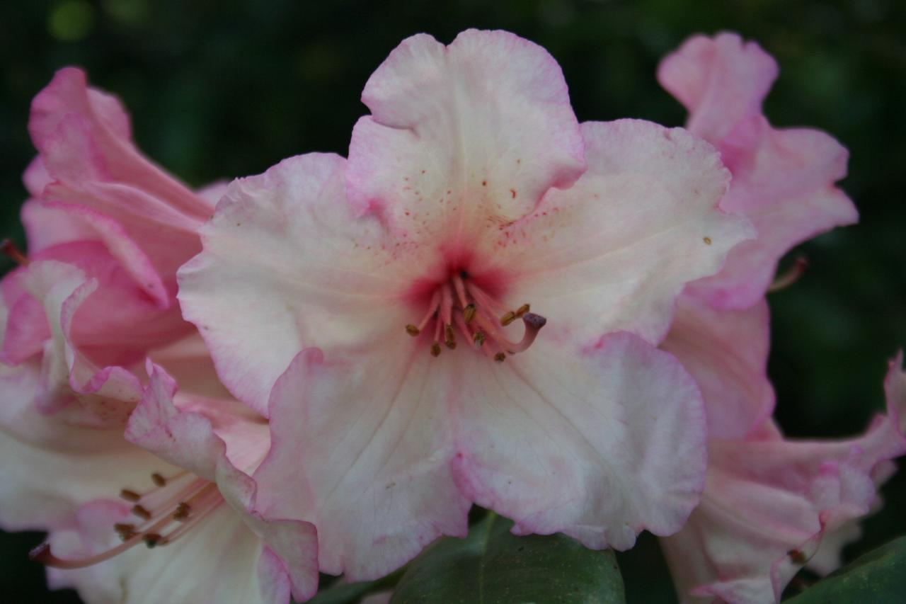 Rhododendron 'Virginia 'Richards'