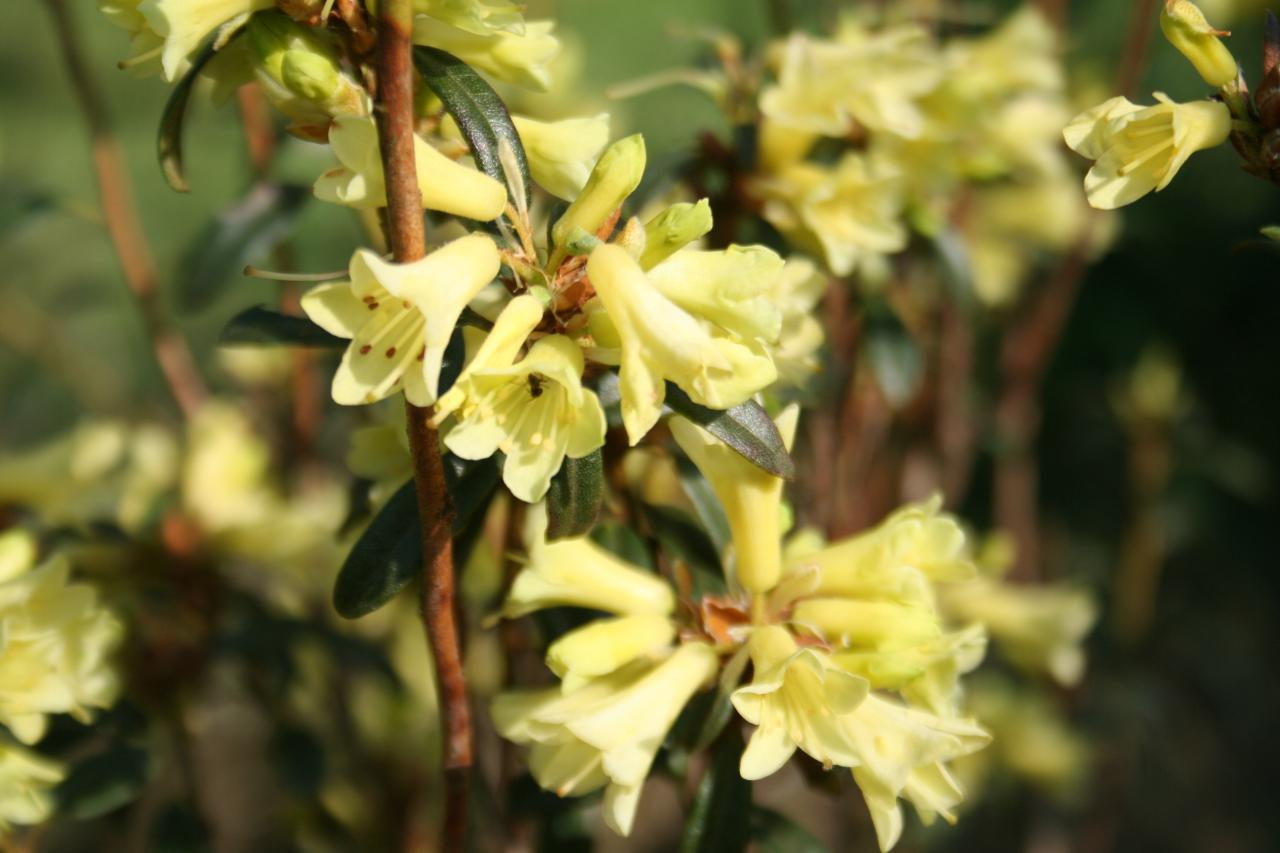 Rhododendron 'Yellow Hammer'-6-