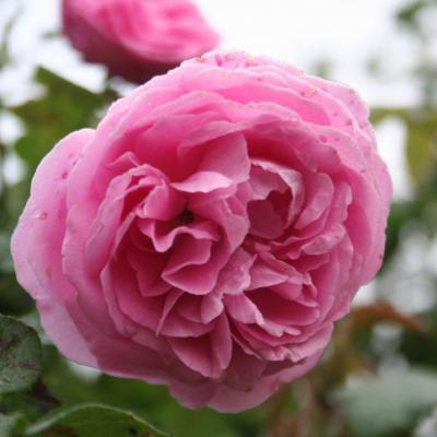 Rosa 'Coupe d'Hebe'