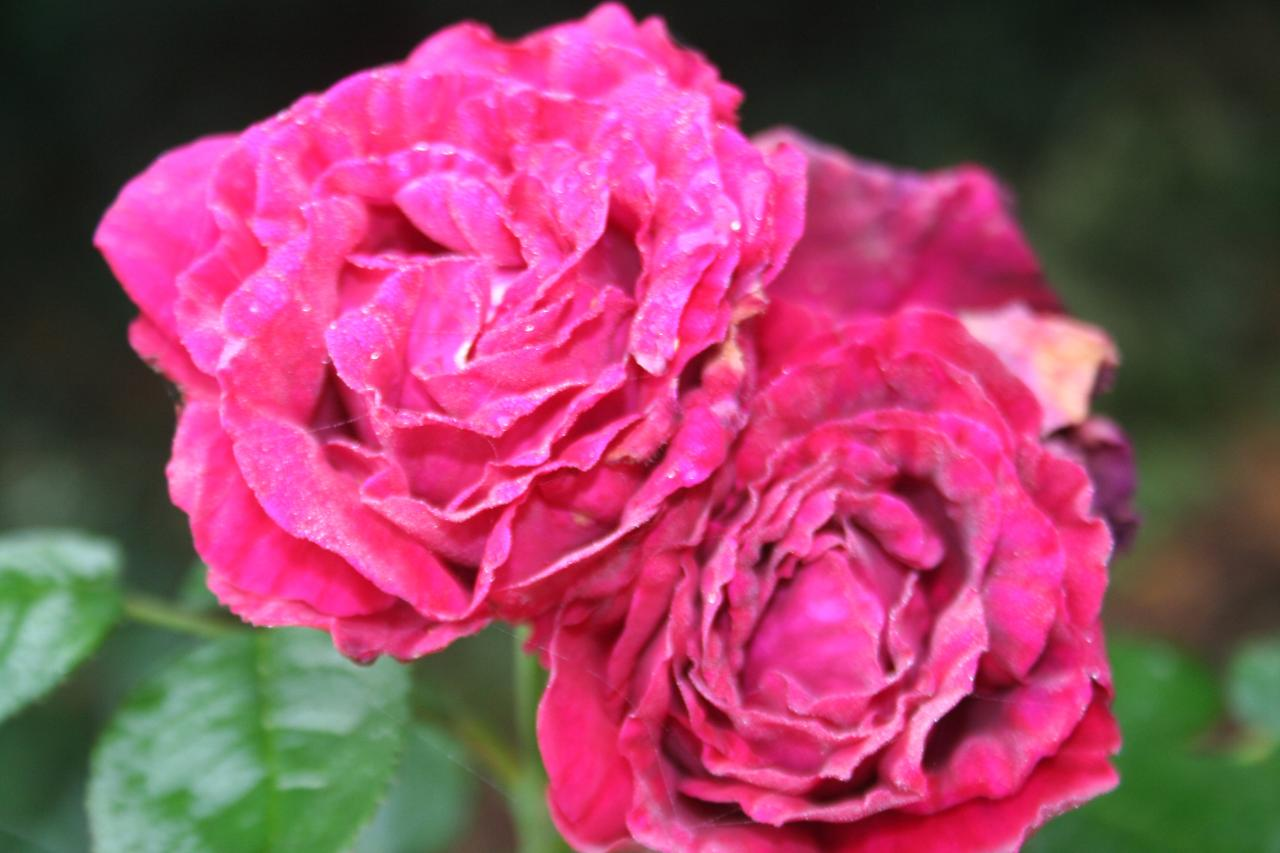 Rosa 'Fisher and Holmes'
