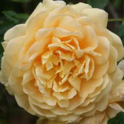 Rosa GOLDEN CELEBRATION® 'Ausgold'